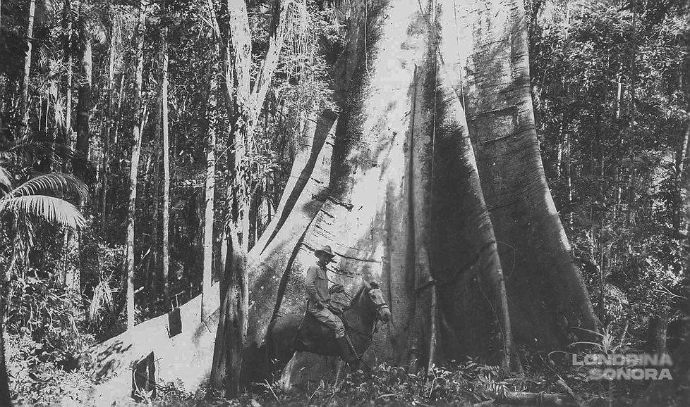 Homem a cavalo em frente de árvore de grandes dimensões. a largura da árvore parece equivalente a quatro cavalos.