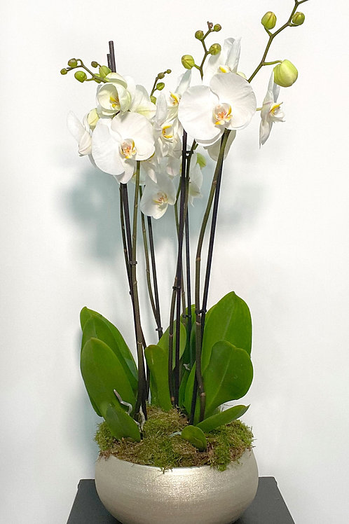 The Phalaenopsis Pot