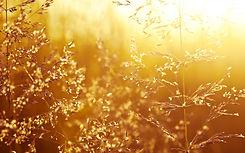 grass field yellow.jpg