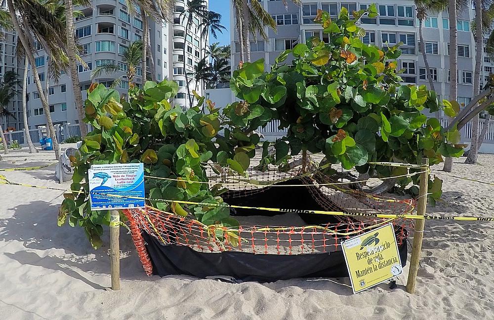 Nido de Tinglar en Playa de Isla Verde, Puerto Rico