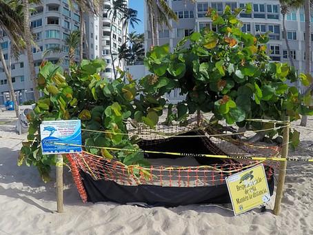 Nido de Tinglar en Playa de Isla Verde