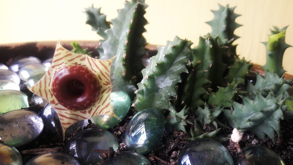 Cactus: Huernia zebrina