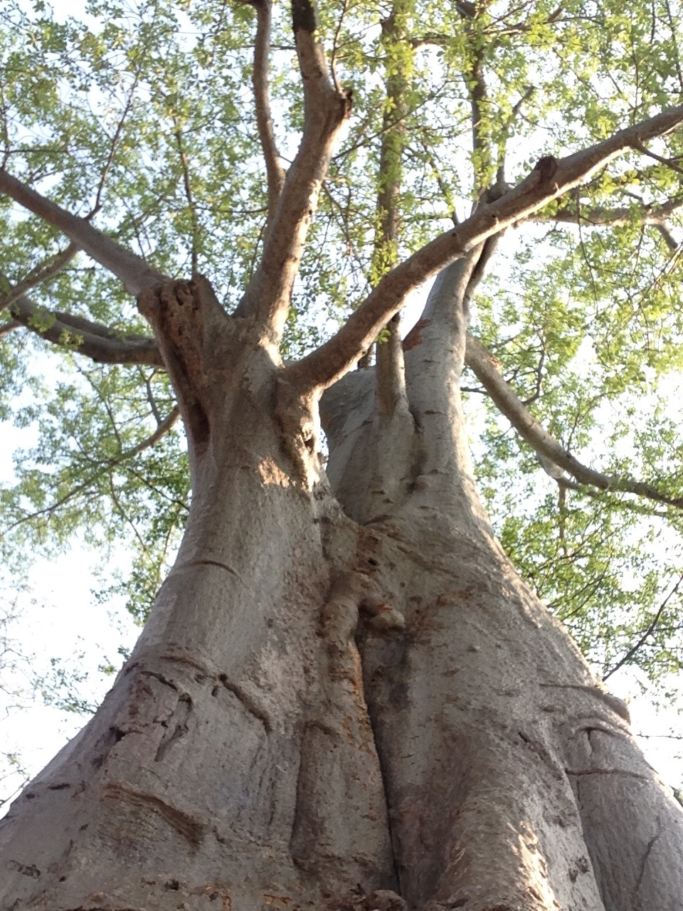 South Luangwa Baobab