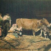 mugindo a vaca.jpg