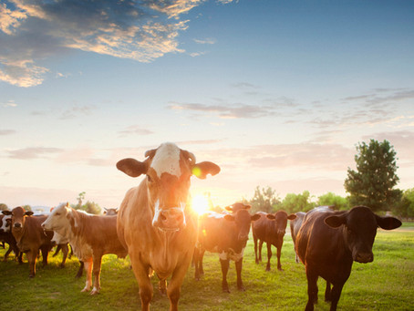 Monday morning cattle market news from Cattle Current