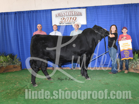 Iowa State Fair Open Limousin Results