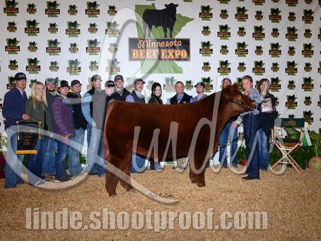 Champion Steers of the Minnesota Beef Expo