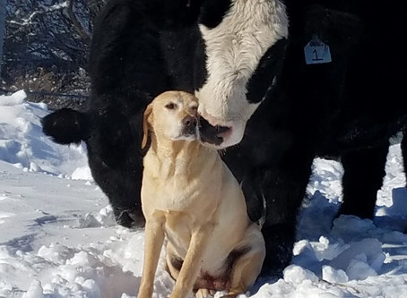 Why Labs Aren't Cow Dogs