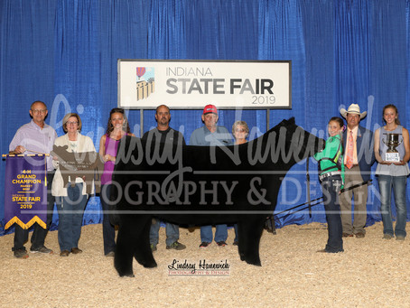 Indiana State Fair Champion Steers