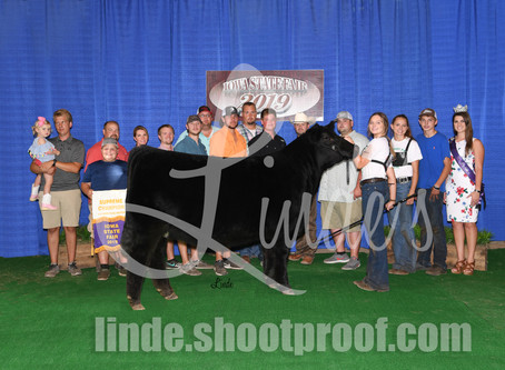 Iowa State Fair Champion 4-H Heifers