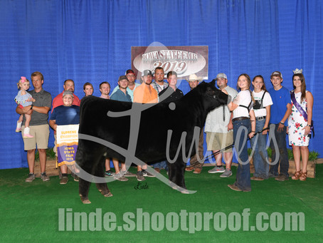 Iowa State Fair Champion 4-H Heifers