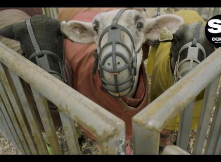Faces Behind SCO Sheep Sales