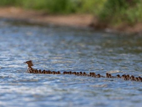 This Mom Has Her Ducklings in a Row - All 56 of them!