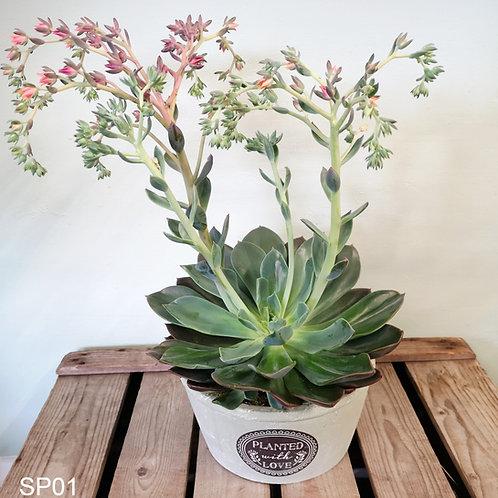 Large succulent, including decorative pot