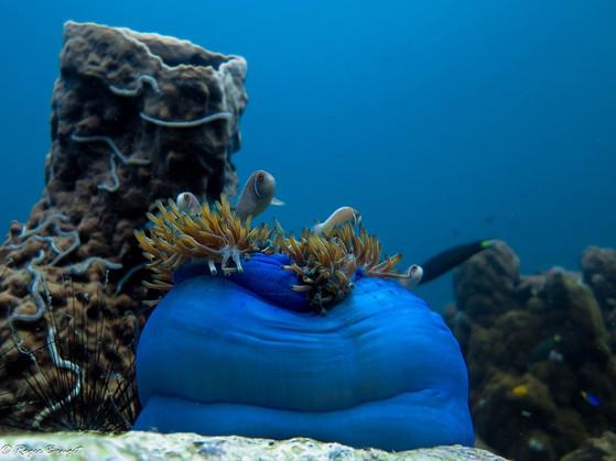 Pink anemonefish-1608 - Copy.jpg