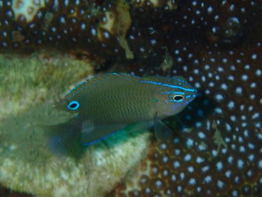 Pomacentrus polyspinus (Thai Damsel) 1.J