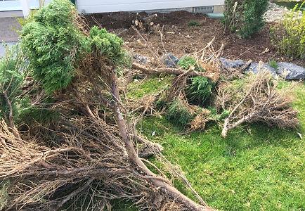 removeshrubs.jpeg