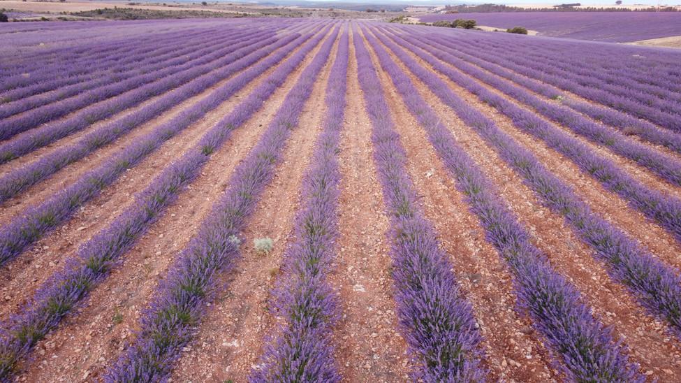 cultivos de lavanda en la Ribera del Duero