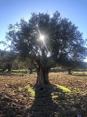 עץ זית 1.2021 עמן הזיתים.jpeg