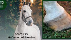 Hufrehe beim Pferd - Ursachen, Behandlung und Fütterung
