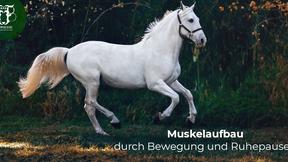 Muskelaufbau beim Pferd unterstützen!