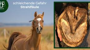 Strahlfäule beim Pferd: Die unterschätzte Lahmheitsursache!