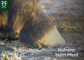 Hufrehe beim Pferd: Risikofaktor Fruktan im Frühjahr und Herbst