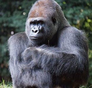 Gorilla looking unhappy