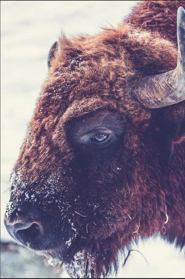 Buffalo by Markus Spiske.JPG