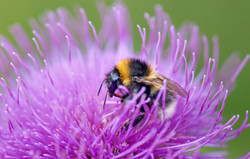 Bumble bee on Cirsium flower