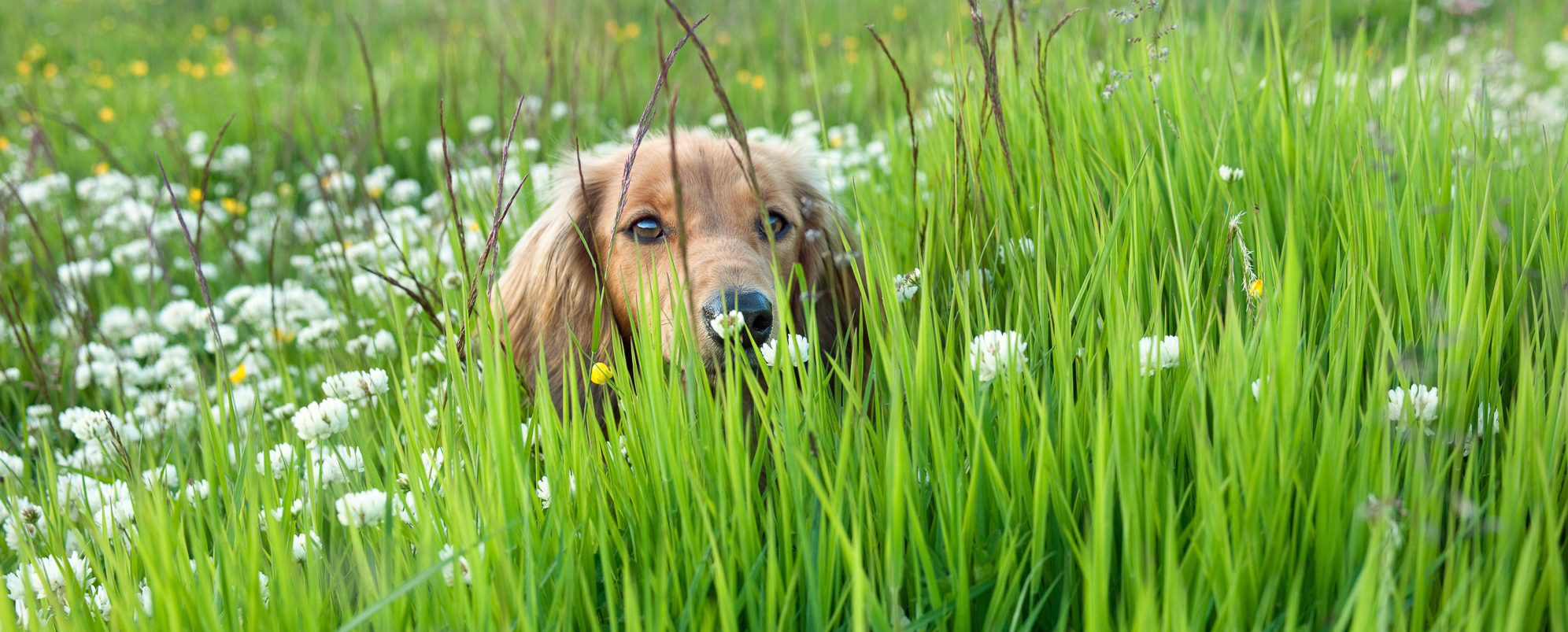 Clover in our clover meadow