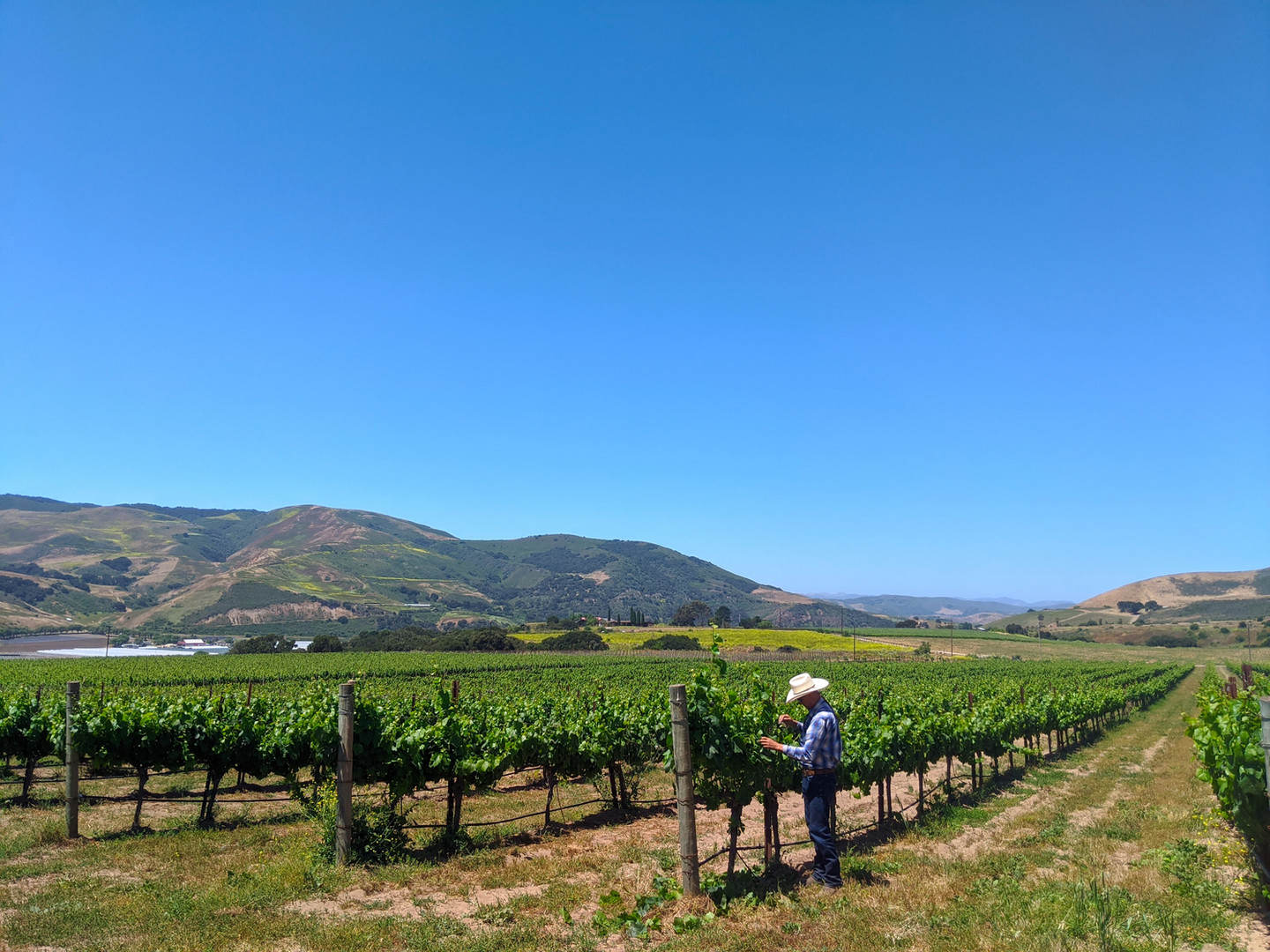 Lafond Vineyard in the Sta. Rita Hills where owner Pierre Lafond first planted vines in 1962