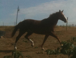 isis_trotting_2011