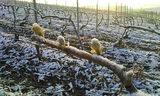 champagne-frost.jpg