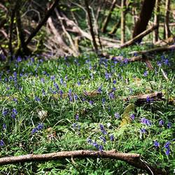 Abundance of beautiful Bluebells in the
