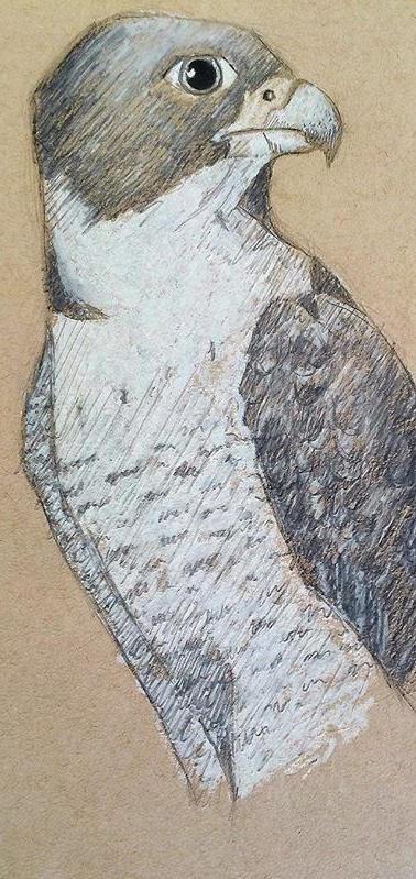 Birds of Prey. Graphite and Conte crayon.