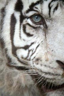 Animais 001 tigre branco.jpg