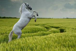 Animais 013 Cavalo branco.jpg