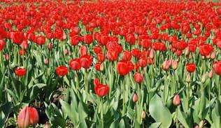 Floral 049-Tulipa vermelhas.jpg