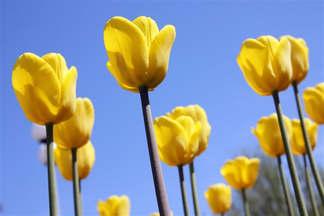 Floral 057-Tulipa amarela.jpg
