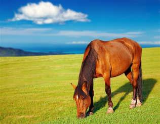 Animais 009 Cavalo pastando.jpg