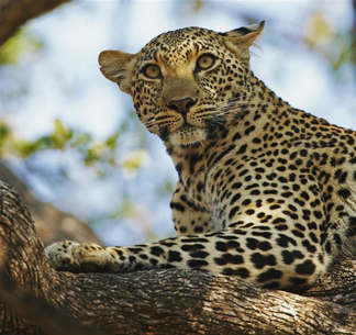 Animais 006 Leopardo.jpg