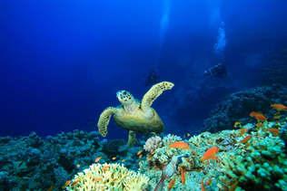 Natureza 056-Tartaruga marinha no fundo do mar.jpg