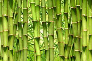 Natureza 045-Bambu japones.jpg
