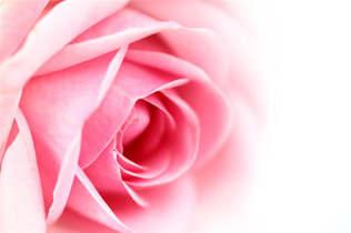 Floral 003-Rosa.jpg