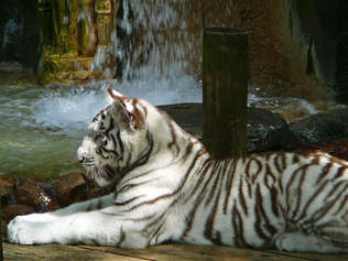 Animais 005 tigre.jpg