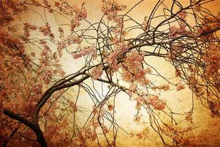 Floral 013-Cerejeira japonesa.jpg