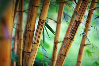 Natureza 039-Bambus.jpg