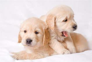 Animais 015 Cachorro filhotes.jpg