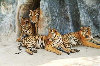 Animais 010 tigres.jpg